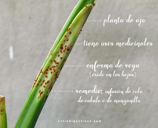 planta de ajo enferma de roya